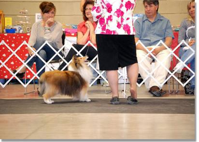 In the Veterans Class at the Canadian Shetland Sheepdog Association National Specialty.