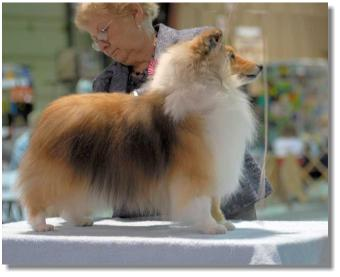 Maddison is pictured in May 2008 (on the table) at the Canadian Collie & Shetland Sheepdog Association Specialty.
