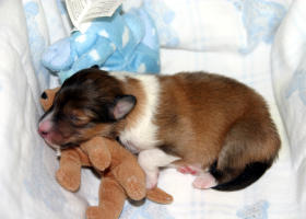 Olivia at one day old.  She was a singleton puppy, and one VERY spoiled, but beautiful baby!